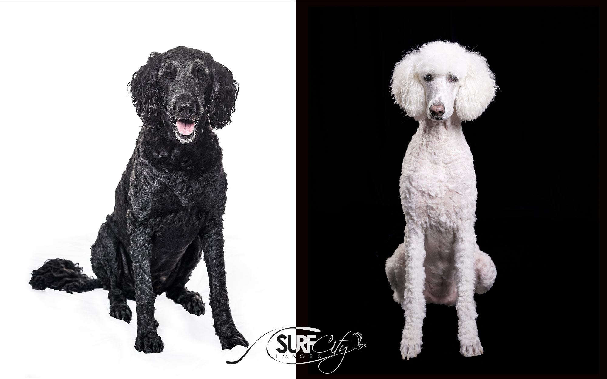 Standard Poodle and Golden Doodle Photography